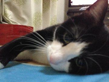 今日の猫缶『CIAO ハイグレード かつお 紅ずわいがに入り 焼津産けずり節・北海道産ほたて入り 』
