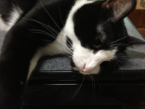 猫は夏でもコタツ好き