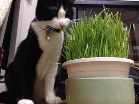 猫草を食す1