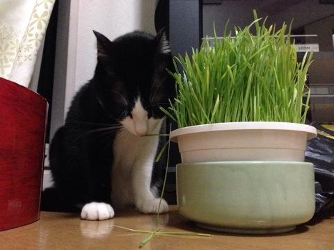 猫草を食す2