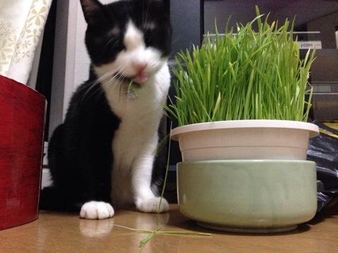猫草を食す4