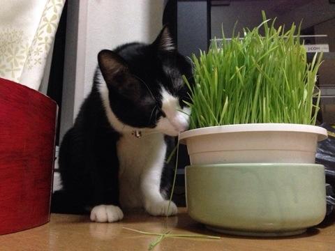 猫草タイム