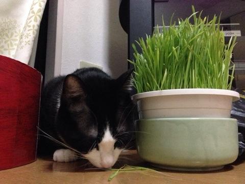 猫草を食す5