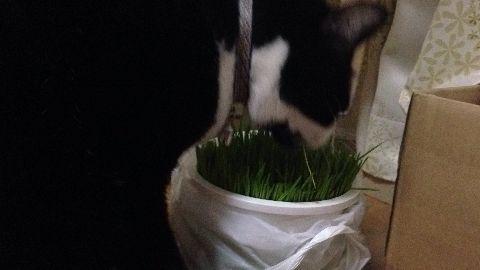猫草と刺身がプレゼント
